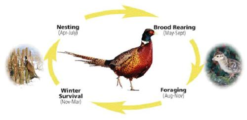 Life Cycle of Pheasant